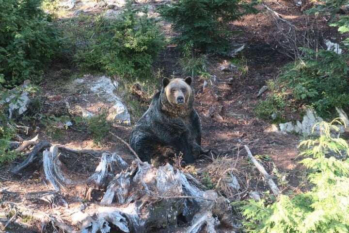 grouse-mountain-grizzly
