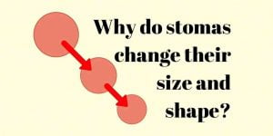 Why do stomas change size and shape?