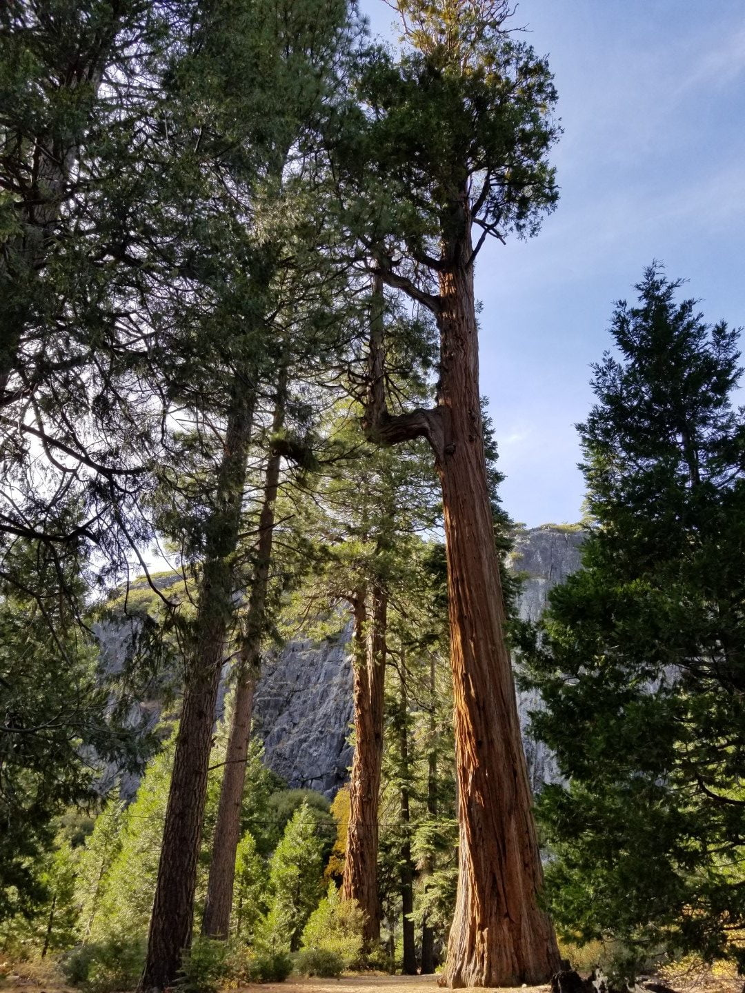 Tall Trees near Emerald Bay